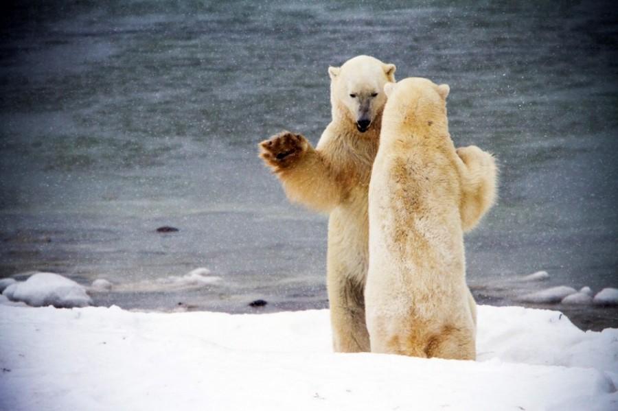 Никогда не кормите медведей, особенно белых